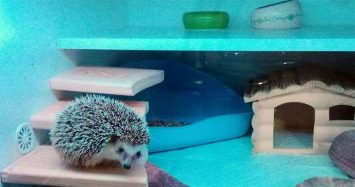 Jeż pigmejski terrarium
